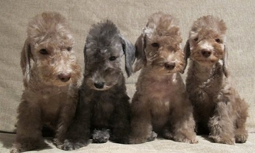 бедлингтон-терьер фото щенки