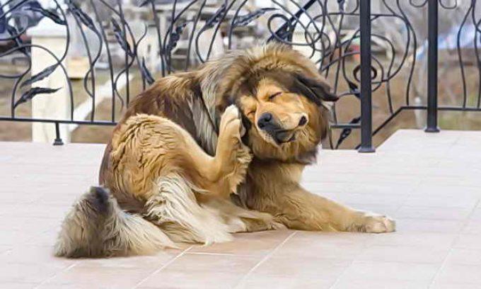 у собаки завелись блохи, чешет себя