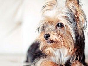герпес у собак