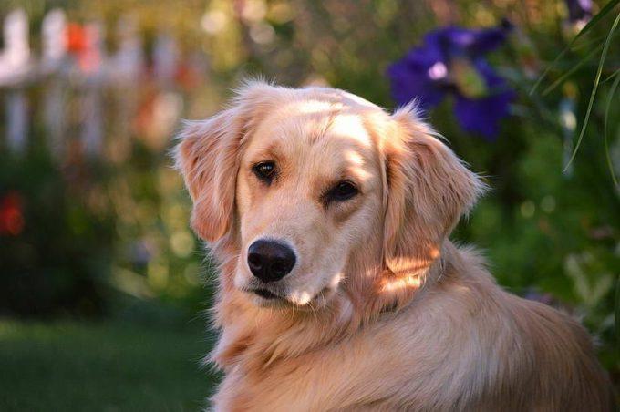 породы добрых собак с фотографиями и названиями