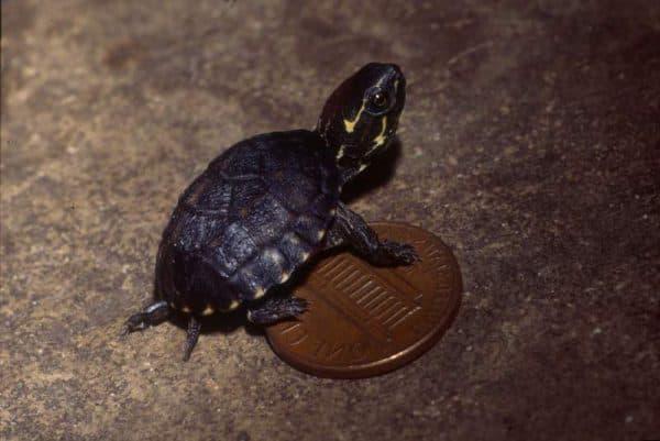Мускусная черепаха - содержание и уход