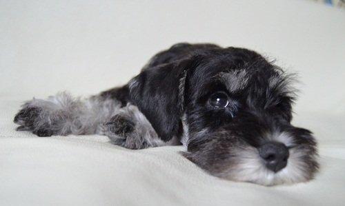 цвергшнауцер фото черный с серебром
