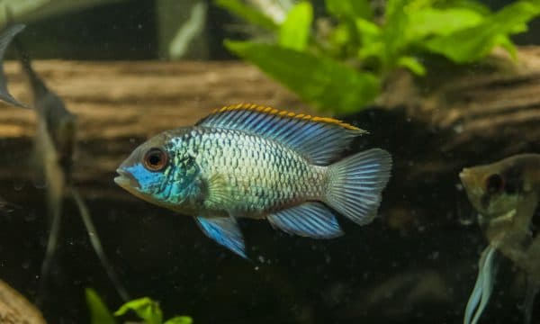 Красивая рыбка акара