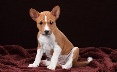 купить собаку породы басенджи