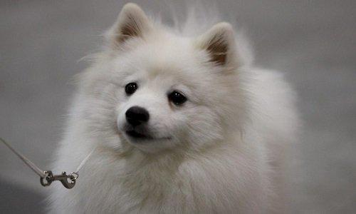 американская эскимосская собака купить