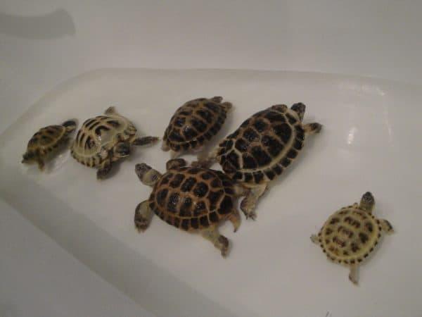 Читайте статью как ухаживать за черепахой в домашних условиях. И узнайте о частых болезнях домашних черепашек.