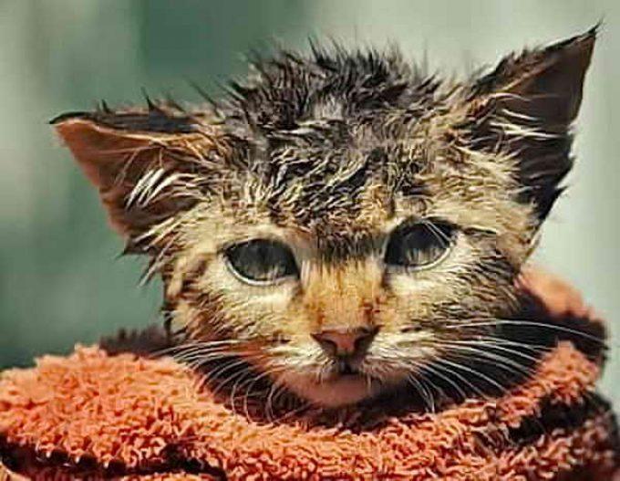 симптомы чумки у кошки