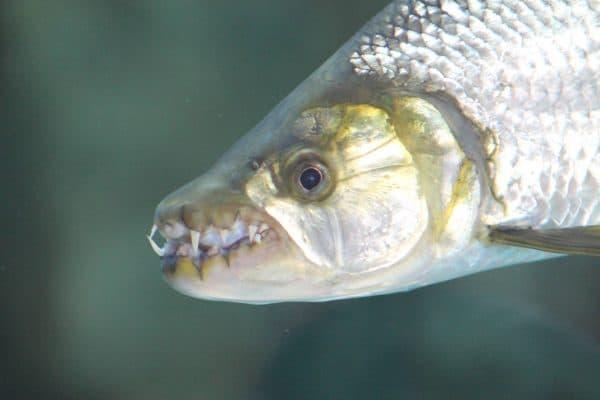 Большая тигровая рыба - старший брат пираньи