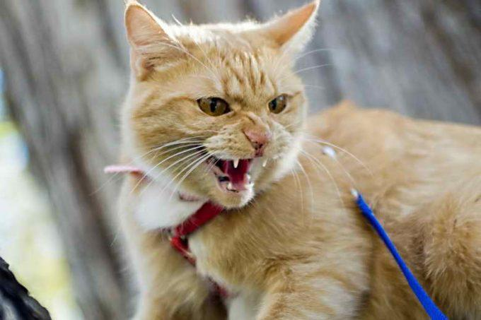 осторожность с бешеным котом