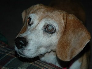 как лечить катаракту у собак