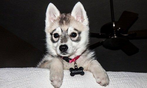 аляскинский кли кай купить щенка