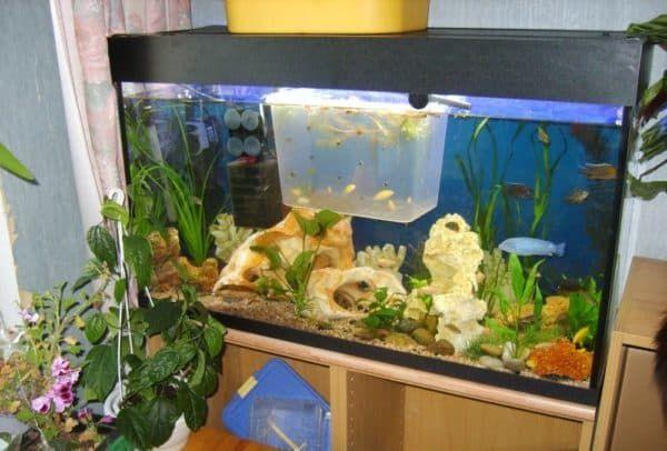 Отсадник для мальков в общем аквариуме читайте статью