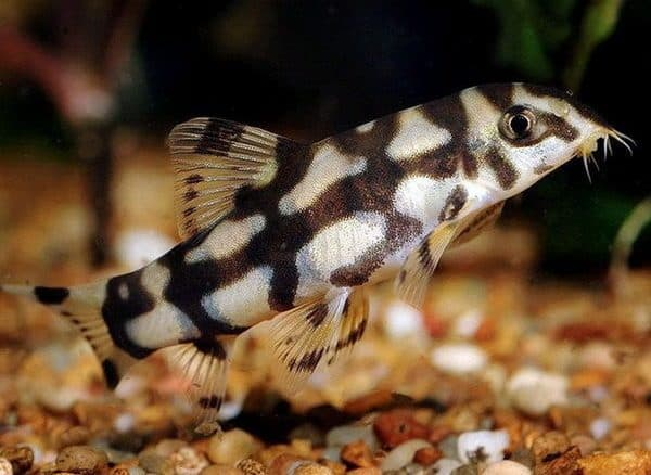 Боция мраморная рыбка