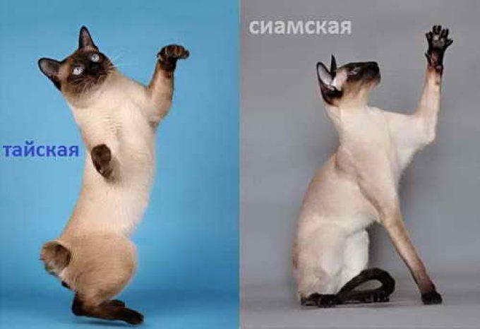 сравнение тайской кошки с сиамской