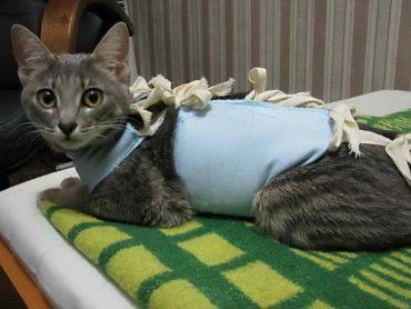 кошка после стерилизации в попоне