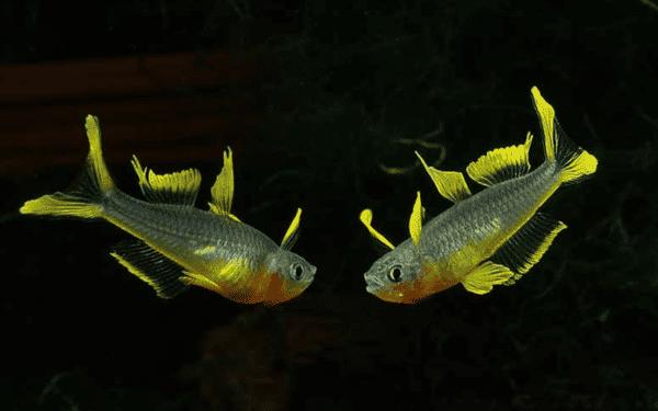 Попондетта фурката - прекрасная рыбка в аквариуме