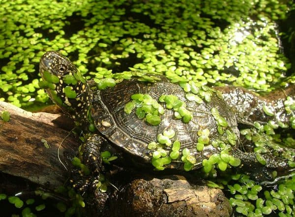 Европейская болотная черепашка в пруду
