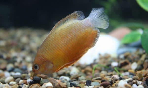Гурами медовый совместимость с другими аквариумными рыбками
