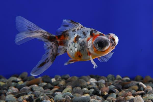 Телескоп рыбка ситцевая