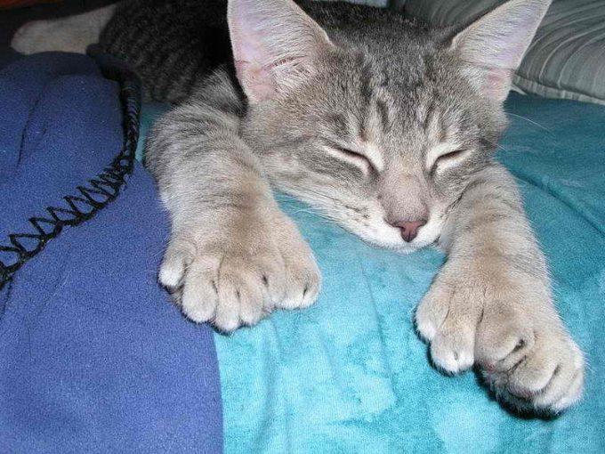 у кошки много пальцев