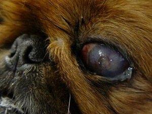 конъюнктивит у собаки фото