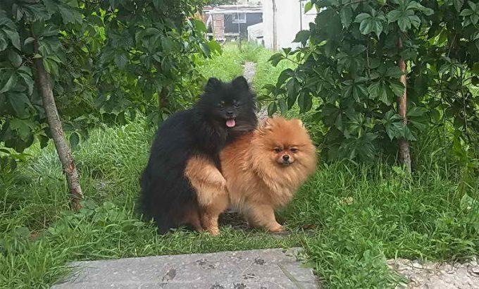 интимный момент вязки собак