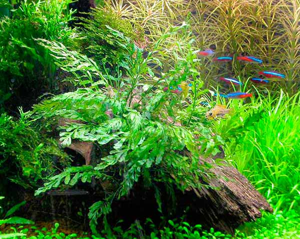 Болбитис геделоти - папоротник в аквариуме