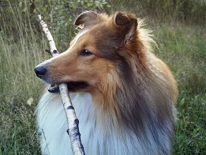 шелти собака фото