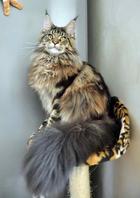 кот мейн-кун в своем уголке