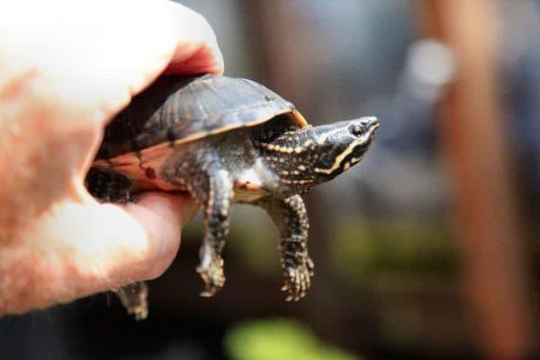 Мускусные черепахи
