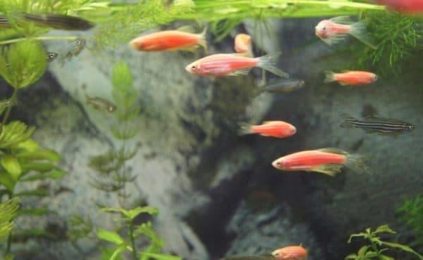 Данио розовый размножение