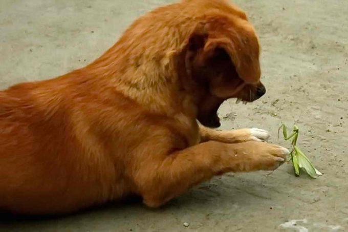 собаку легко поразить глистами