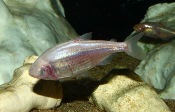 Мексиканская слепая рыба в аквариуме