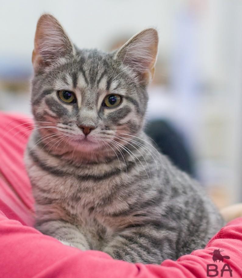 европейская короткошерстная кошка фото оконных или