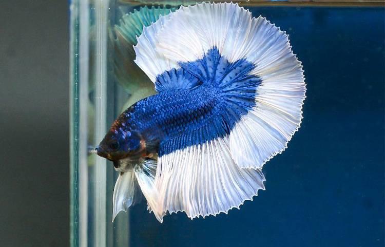 Сине-белый петушок