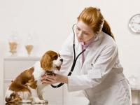 трахеит у собак