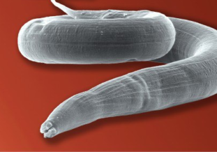 Что такое биогельминты?