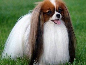 содержание породы собак фален