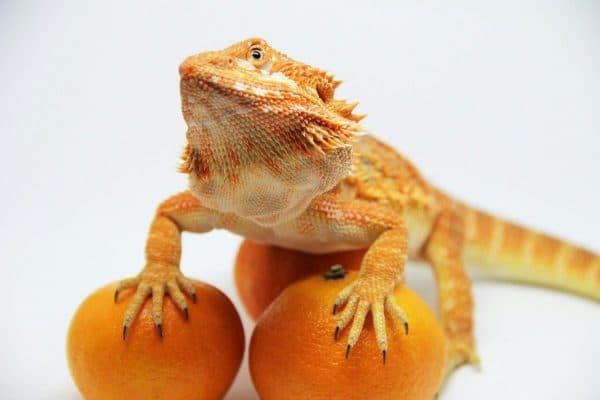 Бородатая агама позирует с мандаринами