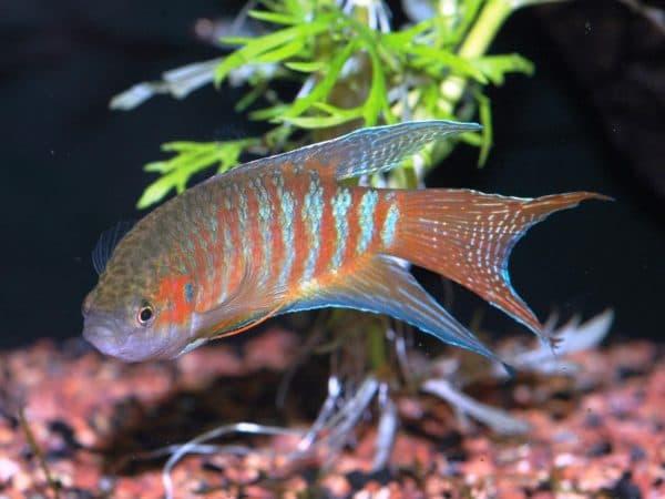 Макропод - красивая рыбка в аквариуме