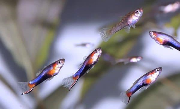 Гуппи Эндлера - удивительная рыбка
