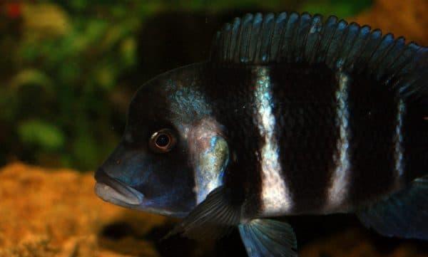 Фронтоза удивительная рыба