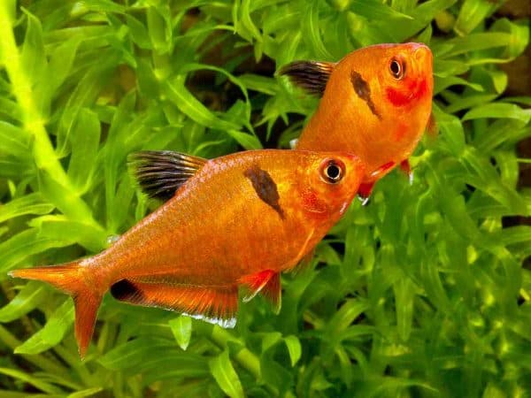 Минор рыбка чем кормить