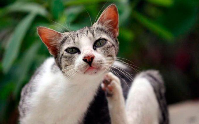 фото чесотки у кошки