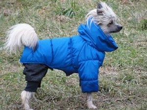купить собаку хохлатую голую