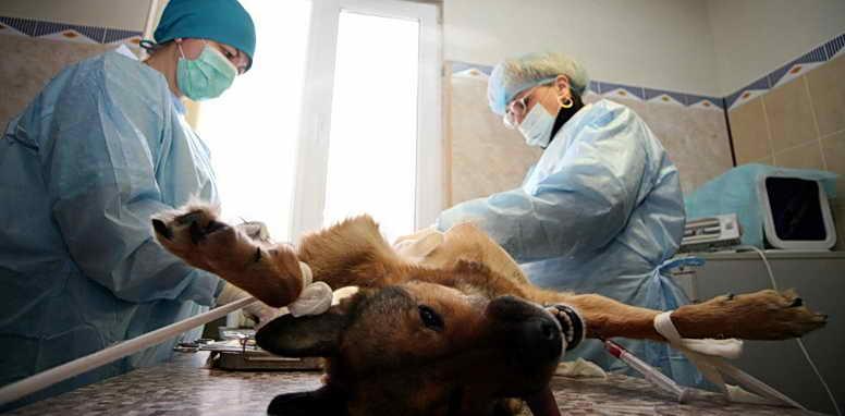 операция собаки кастрация