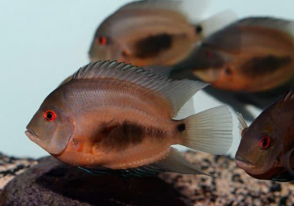 Уару чернопятнистый - удивительная рыбка