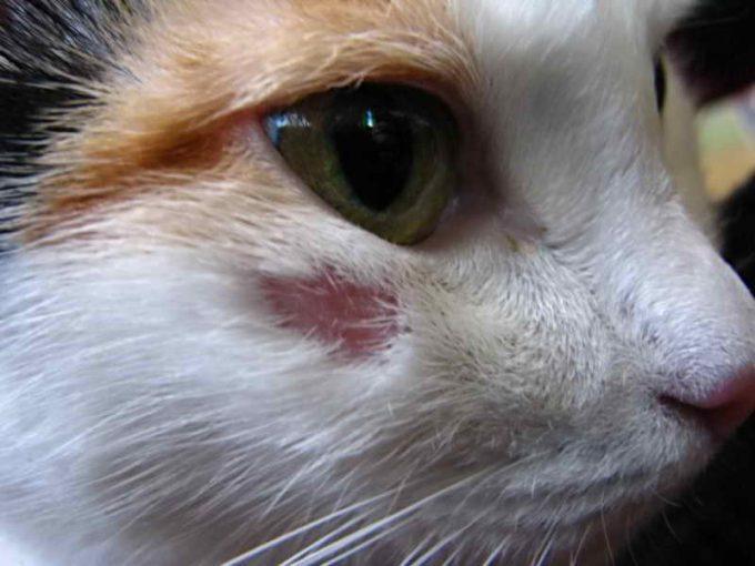 как определить, что у кошки лишай
