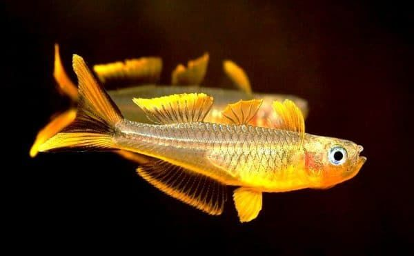 Попондетта фурката - необычная рыбка