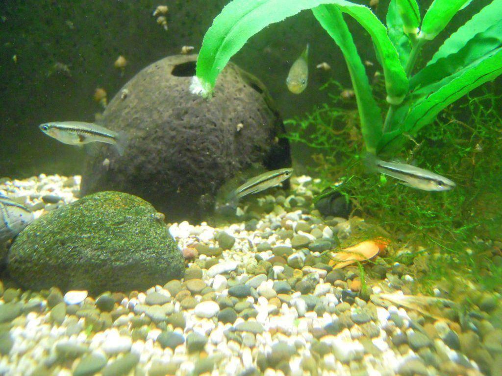 Гамбузия обыкновенная в аквариуме